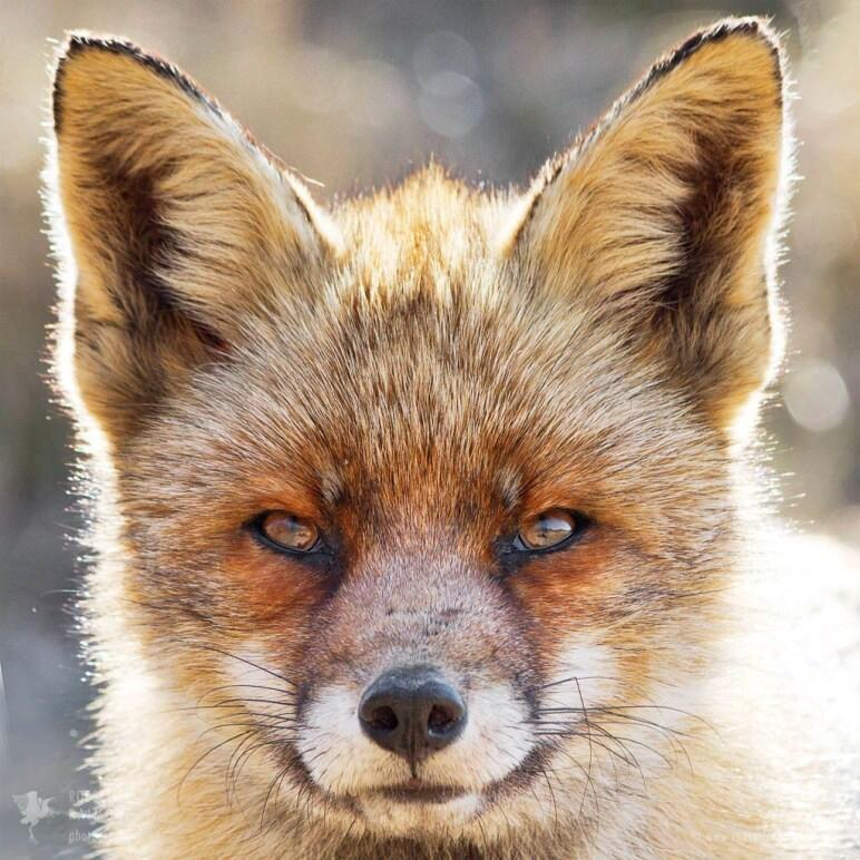 Dog fox portrait