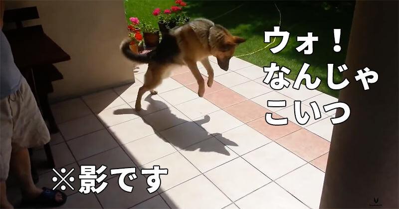 愛くるしい動き!自分の影で遊ぶワンちゃん