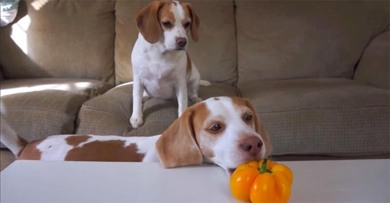 妹のためにテーブルからピーマンをとってあげる犬が可愛い