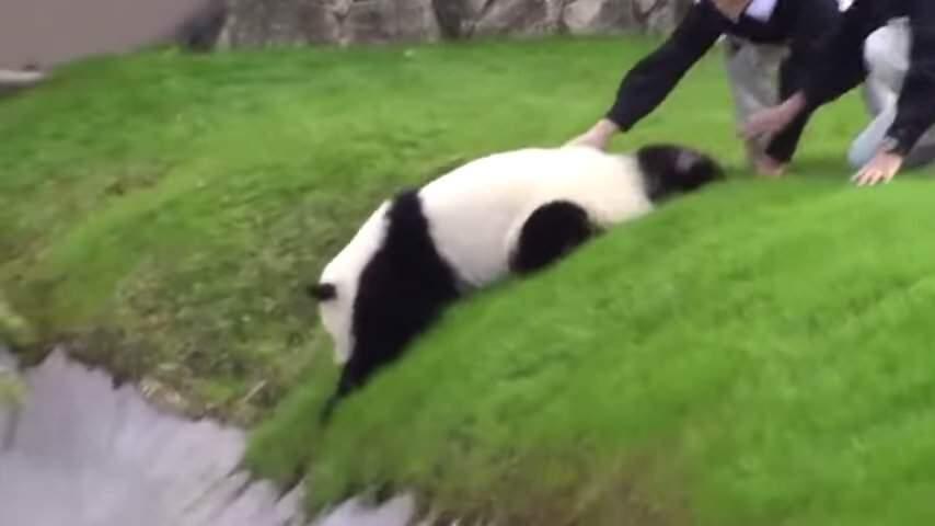パンダがコロコロと転げ落ちちゃうかわいい映像