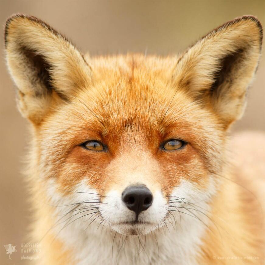 Red fox portrait eyes