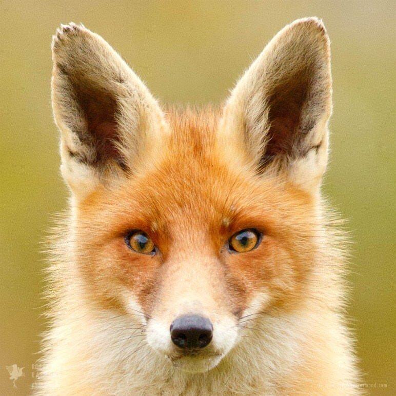 Redfox face