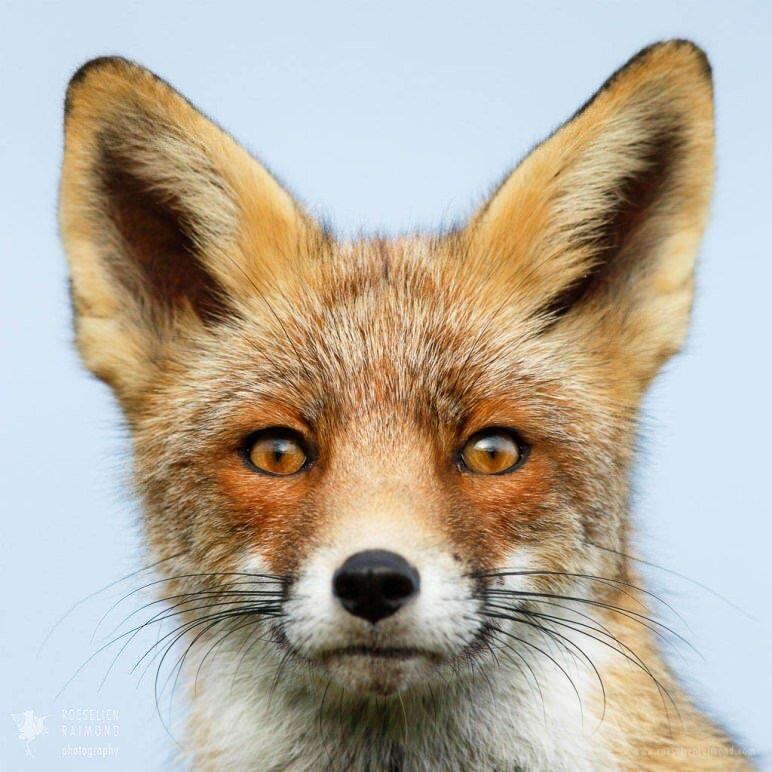 Redfox portrait