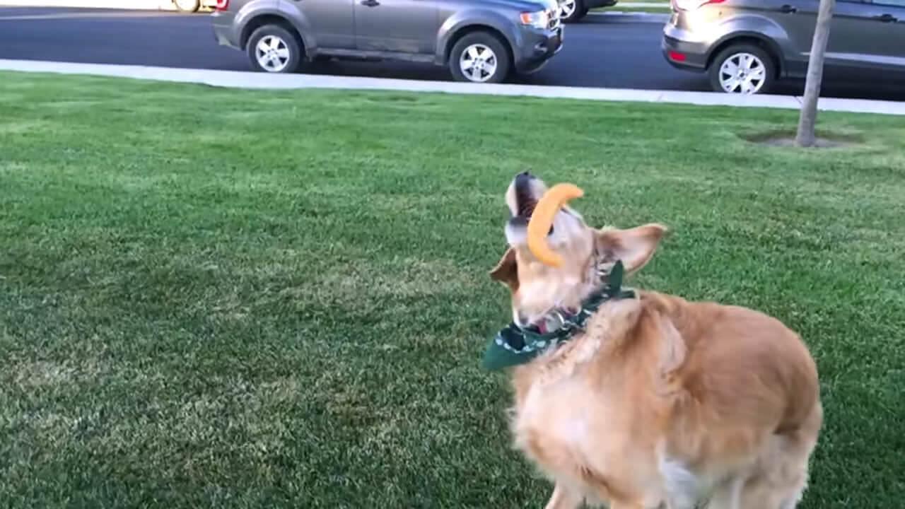 思わずニヤリ、食べ物をキャッチできないゴールデンレトリバーにじわる: Fritz Dog